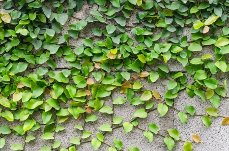 Green creeper tree on wall photo