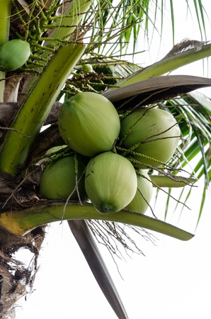 coconut on tree photo
