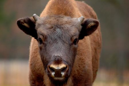 restitution: A calf of European Bison form Bialowieza Forest Stock Photo
