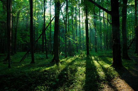 Forest in the morning sun photo