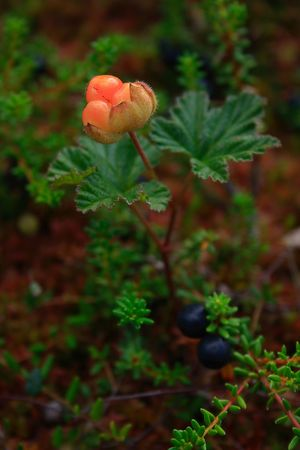 rubus: Cloudberry (Rubus chamaemorus) and Crowberry (Empetrum nigrum)