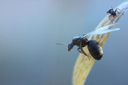 insecta: Ant queen preparing to fly