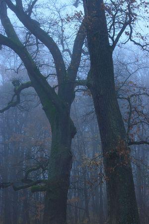 Oaks in the mist photo