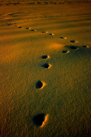 Zigzag-like-footprints of Red Fox on a snow - yellow Stock Photo - 4055344