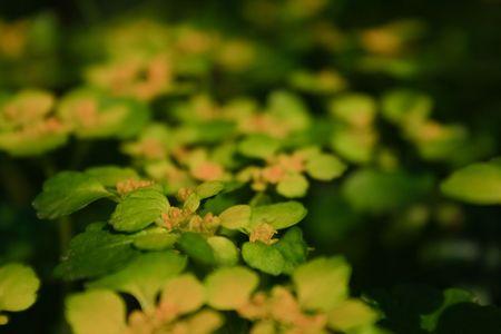 Golden saxifrage (Chrysosplenium alternifolium) flowers at springtime photo