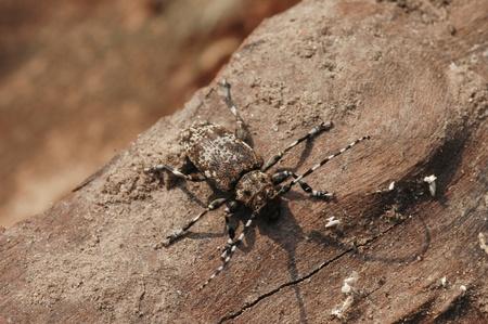 longhorn beetle: Aegomorphus obscurior (A. wojtylai) - Longhorn beetle
