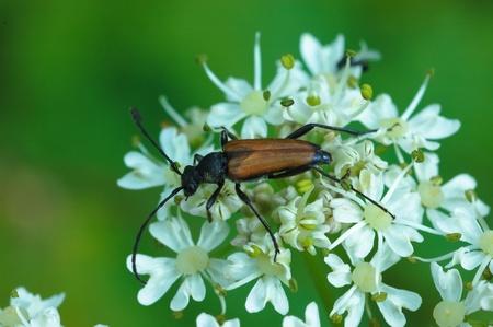 longhorn beetle: Longhorn beetle - Anastrangalia sanguinolenta