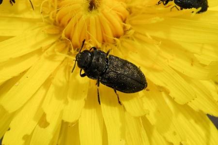 imagines: Jewel beetle - Anthaxia godeti