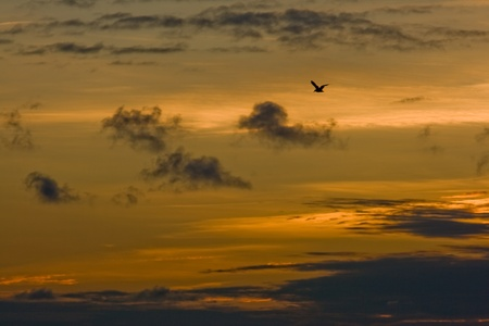 lonely bird: Lonely bird flying with evening sky as a background Stock Photo