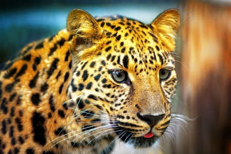 phlegmatic: Portrait of the leopard