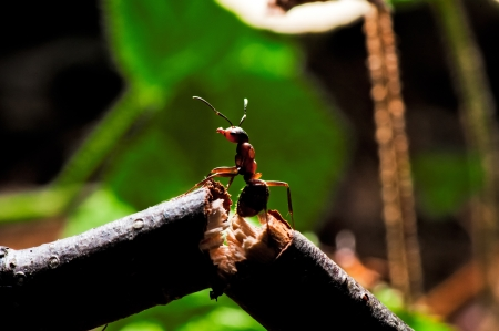 Wood ant on a broken branch.  photo