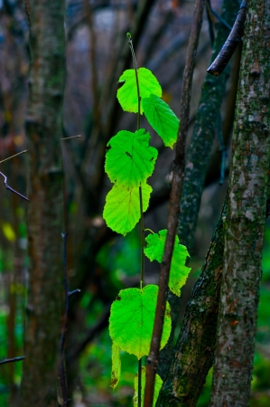 Last green leaves in the autumn forest in October photo