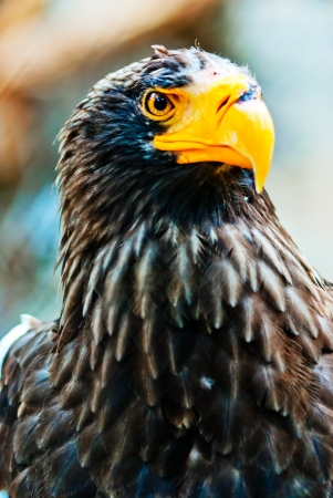 Portrait Steller  Pacific  Eagles in the Novosibirsk Zoo photo