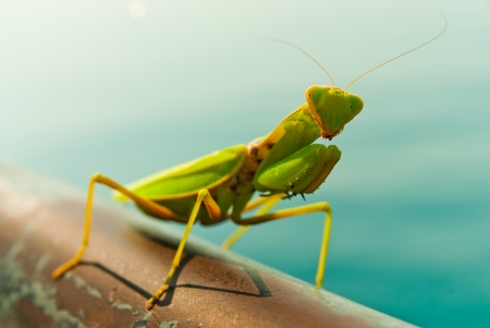 A Mantis posing for the camera  photo