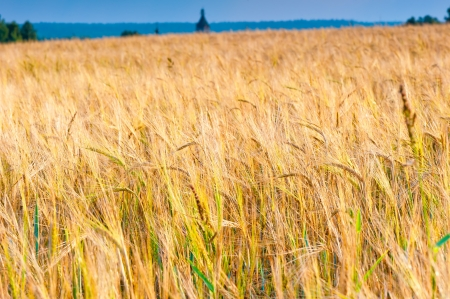 field of ripe wheat ears ready for harvest photo