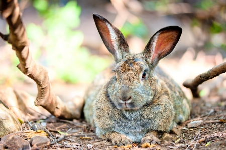fat gray rabbit is resting on the ground in the shade of trees