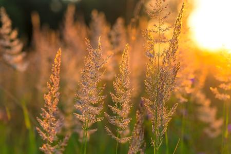 meadow  grass: hermosa pradera de hierba seca en el sol