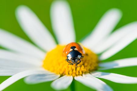 macro ladybug on camomile early sunny morning photo