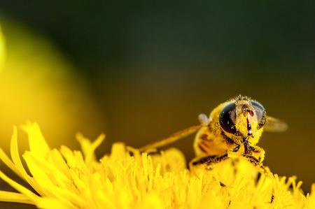 avispa: abeja recoge el polen en una macro de diente de león Foto de archivo
