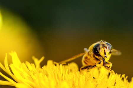 bee collecting pollen on a dandelion macro