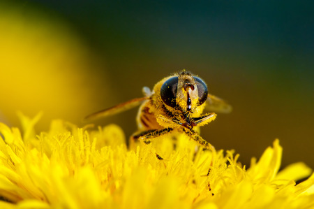 Macro shot of a bee on a flower dandelion Stock Photo