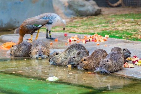 nutria: beautiful nutria eating apples on a pond