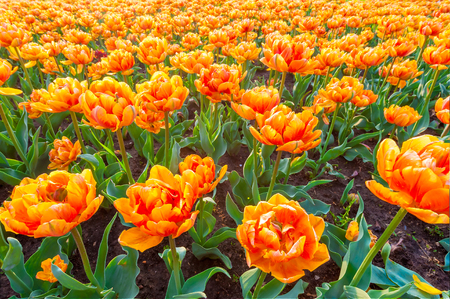 tulips field: Orange beautiful tulips field close up Stock Photo
