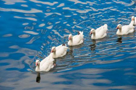 pato: Patos blancos que nadan en el estanque junto