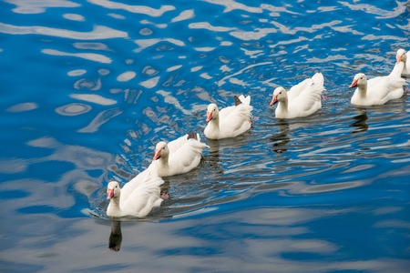 animal farm duck: White ducks swimming in the pond together
