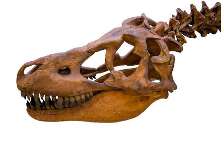 carnivores: Tyrannosaurus rex skeleton skull isolated on white background