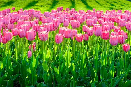 a field of beautiful pink tulips close up Imagens