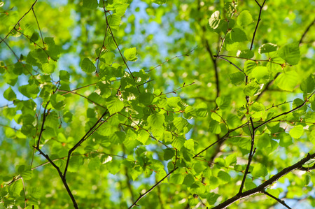 fresh spring leaves of birch on a background of clear sky Stockfoto