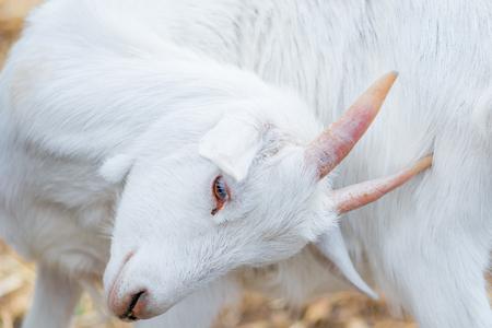 nanny goat: portrait of a beautiful white goat closeup Stock Photo