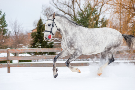 A horse with a beautiful color runs across the field in winter Stock Photo