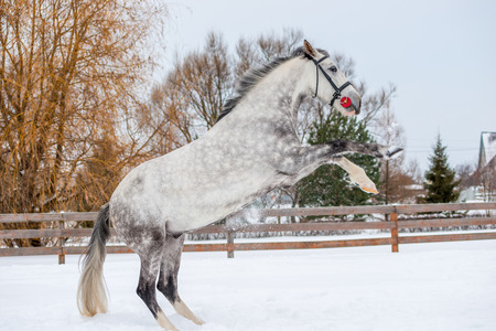 Gray spotted horse climbed up on the snow in the field Stock Photo