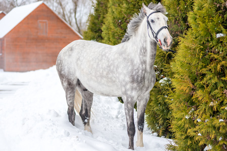 Beautiful spotted gray horse stands near the fir in winter