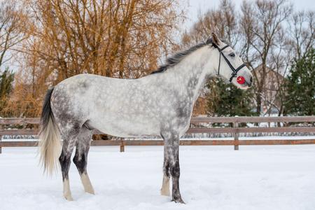 horse in gray wool rests on a snowy field in winter