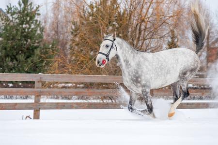 Running gray horse raises snow on the field