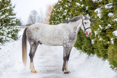 Purebred gray horse on a background of green firs in winter Stock Photo