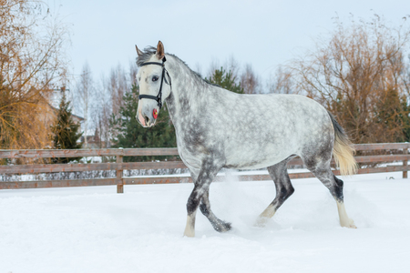 gray horse with the color of an apple, the snow on the ranch