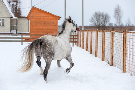 Gray horse looks at freedom through the fence Stock Photo