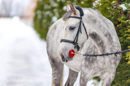A horse tethered near trees in winter