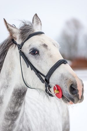 Muzzle of a gray horse close-up on a winter day