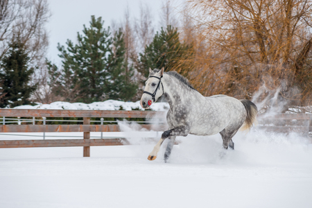 Very fast horse is running on the snowfield