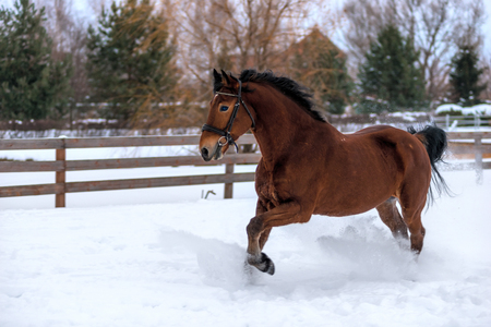 brown horse with a black mane jumps over the snow-covered field to the ranch Stok Fotoğraf