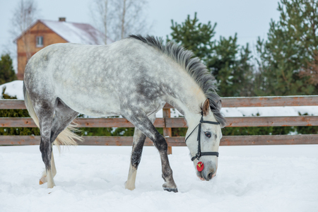 Picture of a gray beautiful horse on a ranch in winter Stock Photo