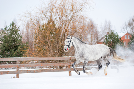 Gray horse training in winter in the field Stock Photo