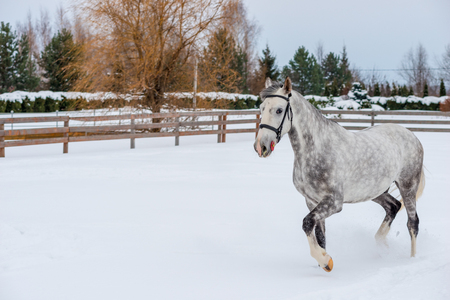 Beautiful spotted horse is surrounded by a fence, a portrait in winter