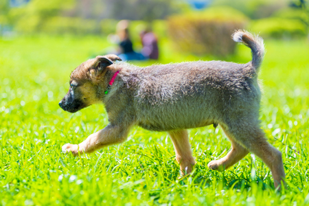 active little puppy running around on green grass on a sunny day