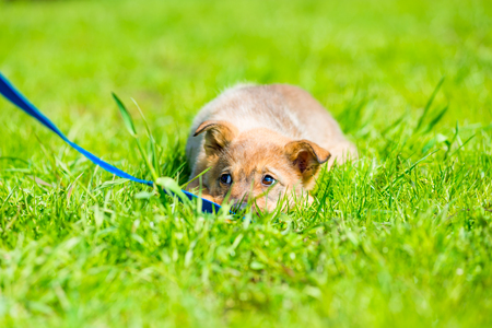 little brown playful puppy hiding in green grass on a meadow